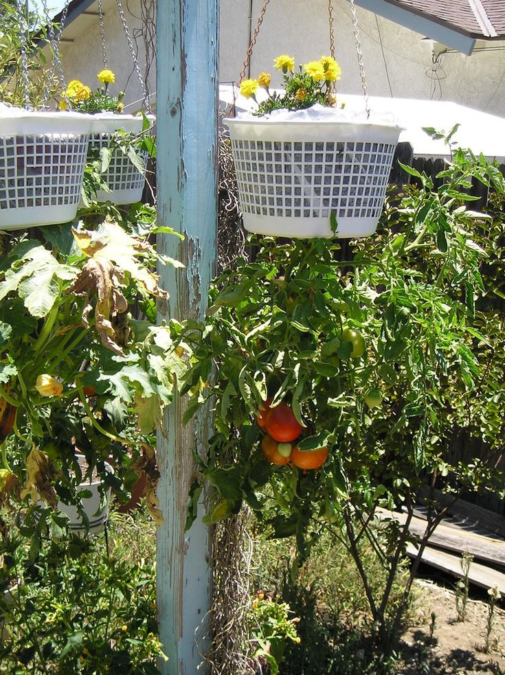 Growing tomatoes upside down the image kid has it - Upside down gardening ...