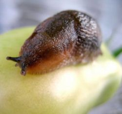 Slugs = Yuck.  How To Get Rid Of Slugs.