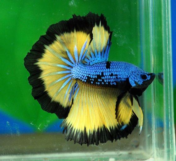 Blue and yellow betta fish - photo#25
