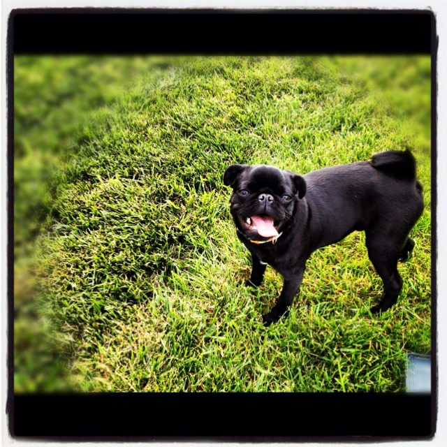 French bulldog + pug = frug ----I really want one!