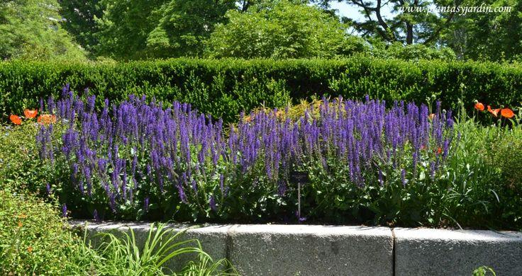 Salvias g nero de herb ceas y arbustos plantas jard n for Arbustos de jardin