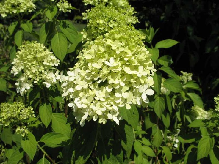 panicle hydrangea 39 limelight 39 gardening pinterest. Black Bedroom Furniture Sets. Home Design Ideas
