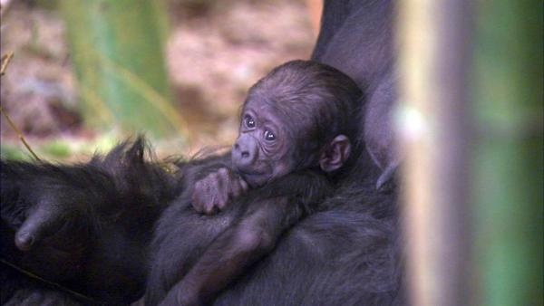 Lincoln Park Zoo in Chicago confirms newborn gorilla is a female, named Patty. (ABC 7 WLS-TV)