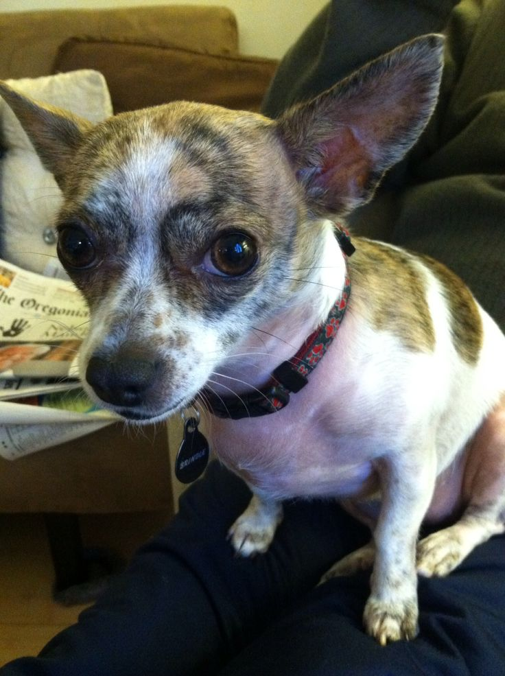 My Brindle, Jack Russell, Chihuahua mix   Pets   Pinterest