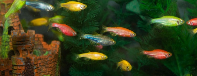 Aquarium Glo Fish - What started in the the wild as an everyday non ...