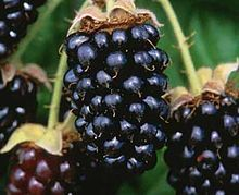The Marionberry: developed by the USDA in cooperation with Oregon ...