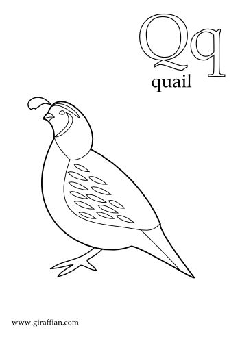 Q is for quail Coloring Pinterest