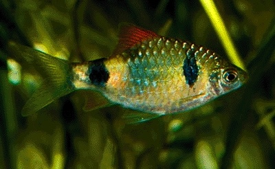 Spotted Barb : Two Spot Barb (Puntius Narayani) Barbs Pinterest