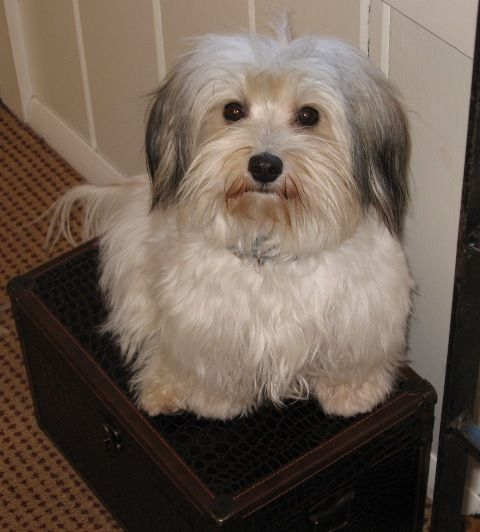 Is The Hairstyle For Havanese Puppies Curly Is The