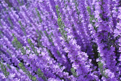 Purple Texas Sage Herbes Et 233 Pices Herb And Spices
