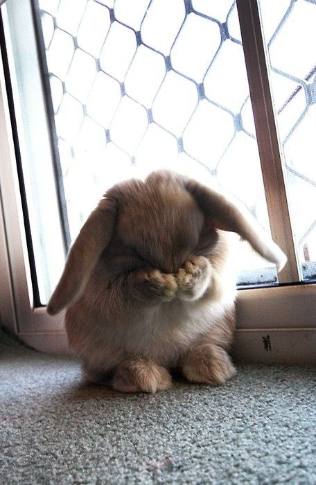 bunny cleaning its face and ears.