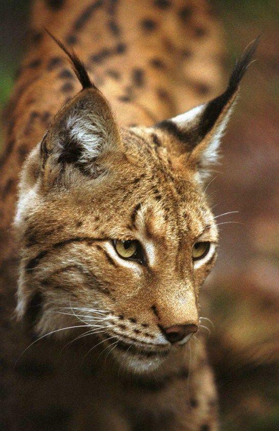 Big Cat With Long Ear Hair