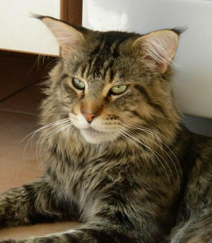 I Want a Brown Mackerel Tabby Maine Coon | Curious cats ... Tabby Maine Coon Kitten