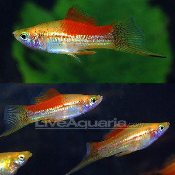 multi colored swordtail fish - Google Search