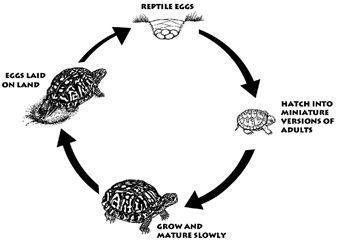 Pond turtle life cycle