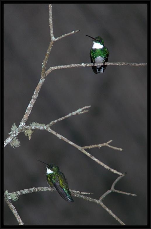White-throated Hummingbird - Beija-flor-de-papo-branco (Leucochloris albicollis)