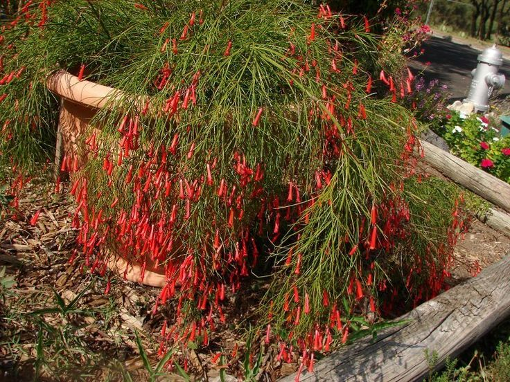Russelia sp - Red Firecracker Plant | Succulents and Cacti | Pinterest