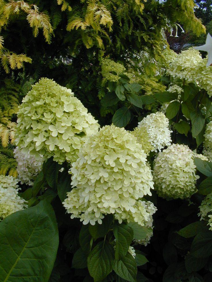 Hydrangea limelight plants that work for me pinterest for Limelight hydrangea
