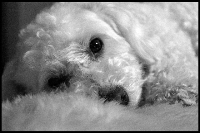 My little sister, Lilly.  (My parents' ADORABLE bichon).