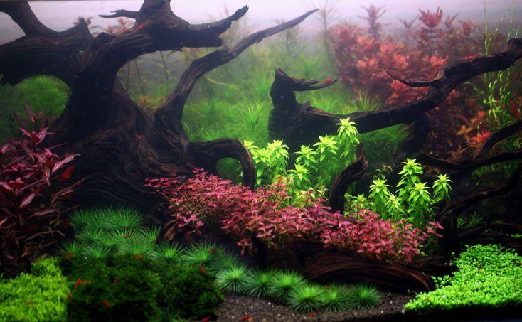 120 Gallon Dutch Planted Aquarium Planted aquariums Pinterest
