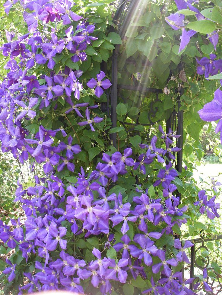 clematis climbing flowering vine flowery things