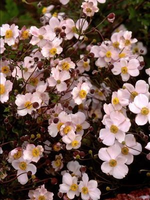 anemone hupehensis september charm garden