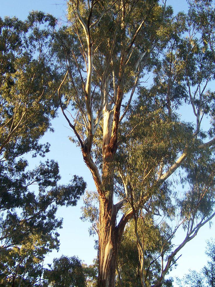 eucalyptus tree trees pinterest. Black Bedroom Furniture Sets. Home Design Ideas