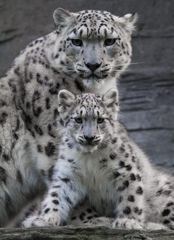 Baby Snow Tigers