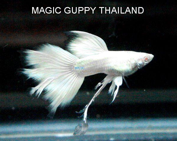 Guppys aus thailand kaufen