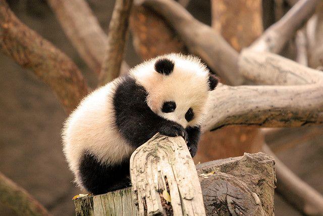 Panda - Page 2 6c20b85efbe924b27daba7286a5f3330
