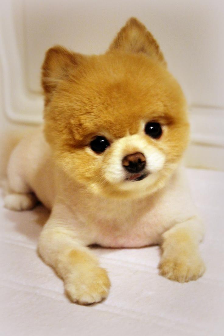 Shaved Pomeranian 47