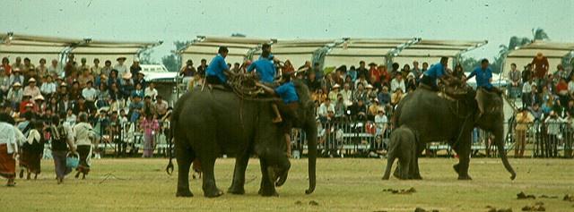 Elephant Roundup, Surin