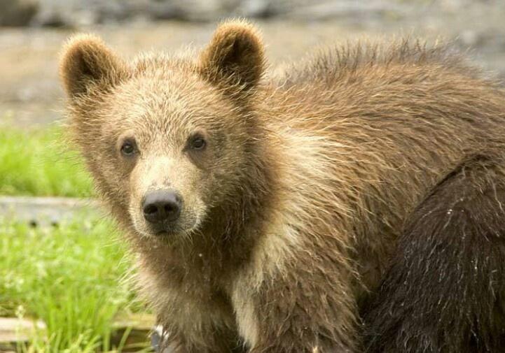 Baby grizzly bear   ڿڰۣ(̆̃̃Wildlife ڿڰۣ(̆̃̃   Pinterest