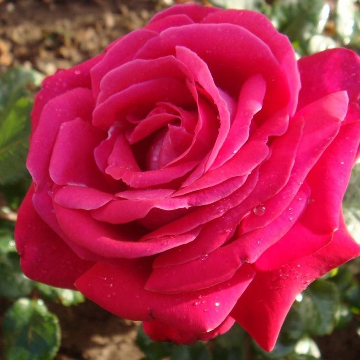 Pink Rose Art Inspiration Pinterest