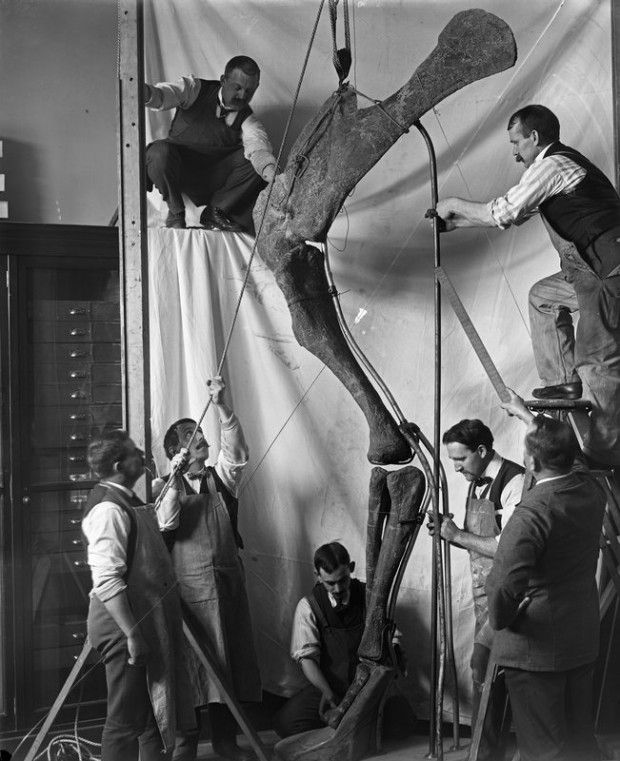 Museum staff assemble a Diplodocus forelimb for exhibition, 1916 (American Museum of Natural History)