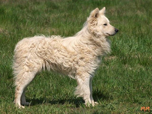 Hungarian Mudi | Dogs | Pinterest
