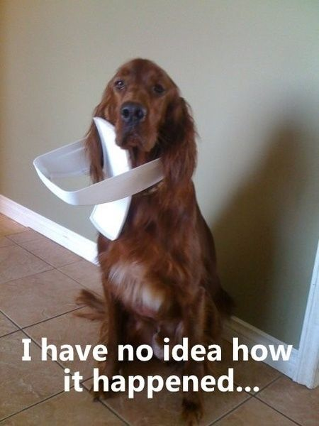 """Typical dog """"innocent when busted"""" look."""