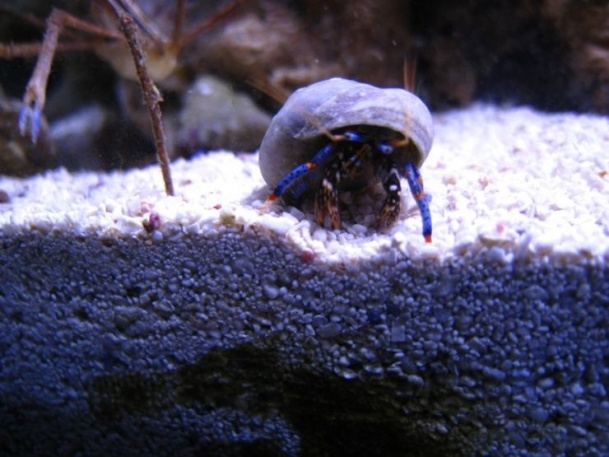 219 - photo at Saltwaterfishbook reef aquarium inverts Pinterest