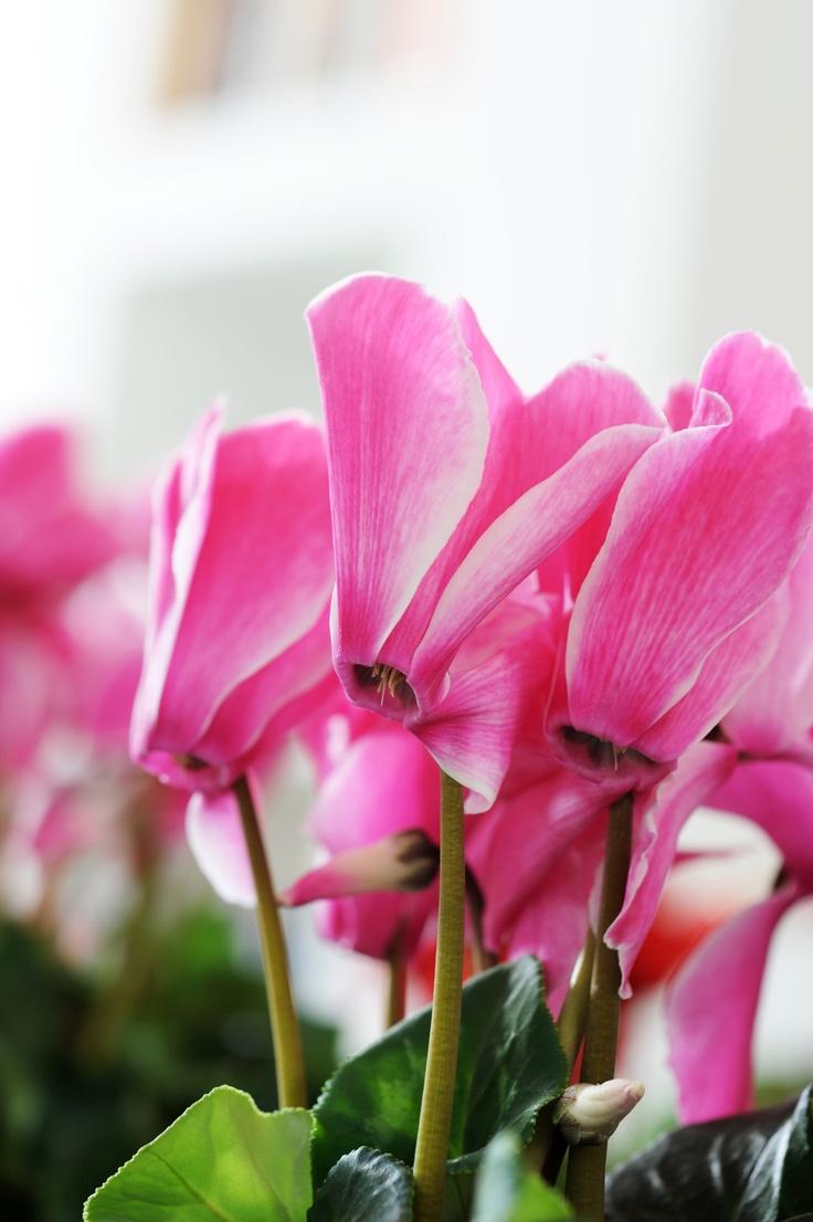 Cyclamen | plant up my life | Pinterest Javadoplant