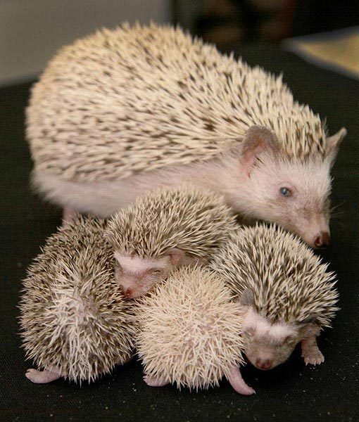 hedgehogs | Hedgehogs. Prickly but cute. | Pinterest