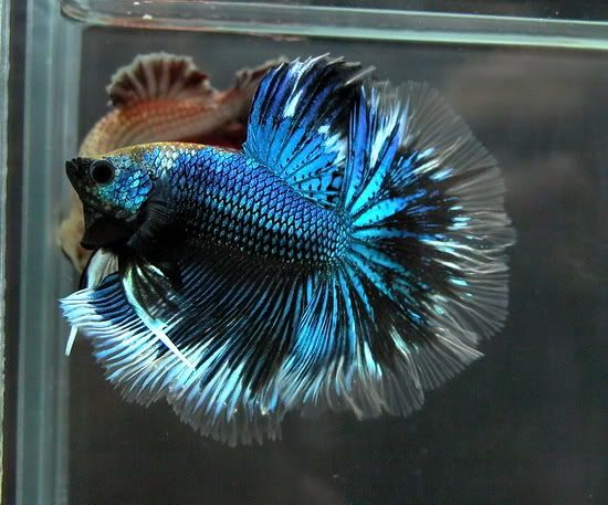 Blue and white betta fish for Blue betta fish