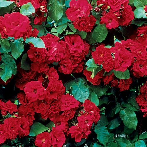 Spring Hill's Red Freedom Hedge Rose