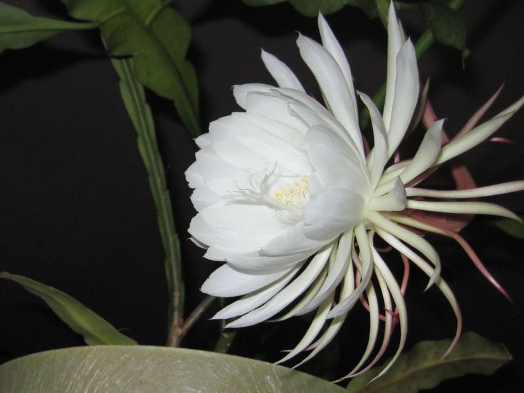 Night blooming cereus photo by dot kent fabulous plants flowers - Flowers that bloom only at night ...