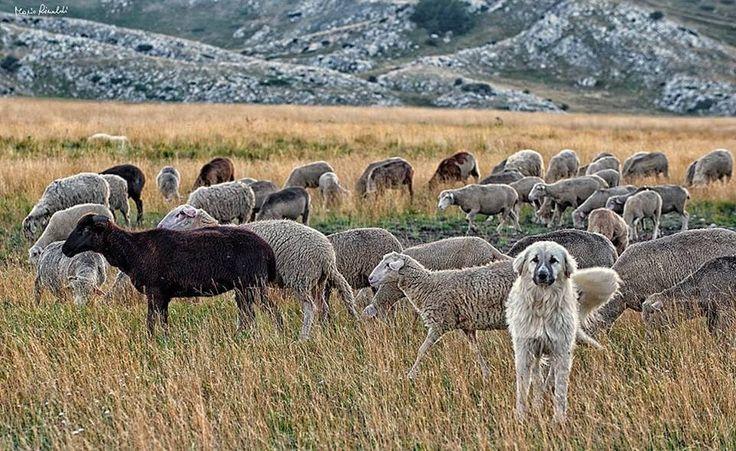 Sheepdog guarding sheep | Home in Abruzzo | Pinterest