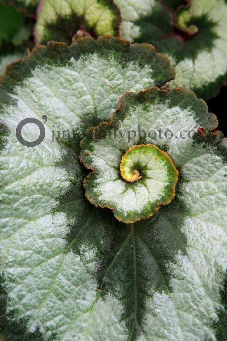 nautilus begonia the universal swirl