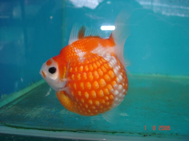 Pearlscale goldfish - photo#20