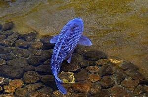 Stunning blue koi asagi magoi noahs ark pinterest for Blue koi fish for sale