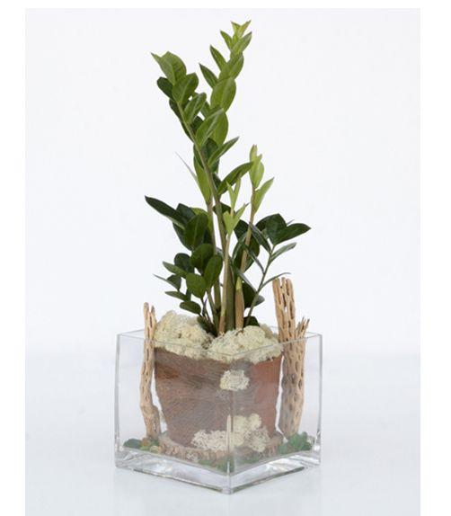 How to Grow and Shape Lucky Bamboo  The Spruce