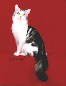 #Maine Coon #Cats and #Kittens in #Pennsylvania http://www.absolutelycats.com/23MaineCoon6.html