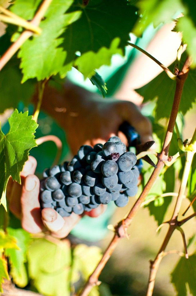 Volunteering on a vineyard in Tuscany - add it to your bucket list!